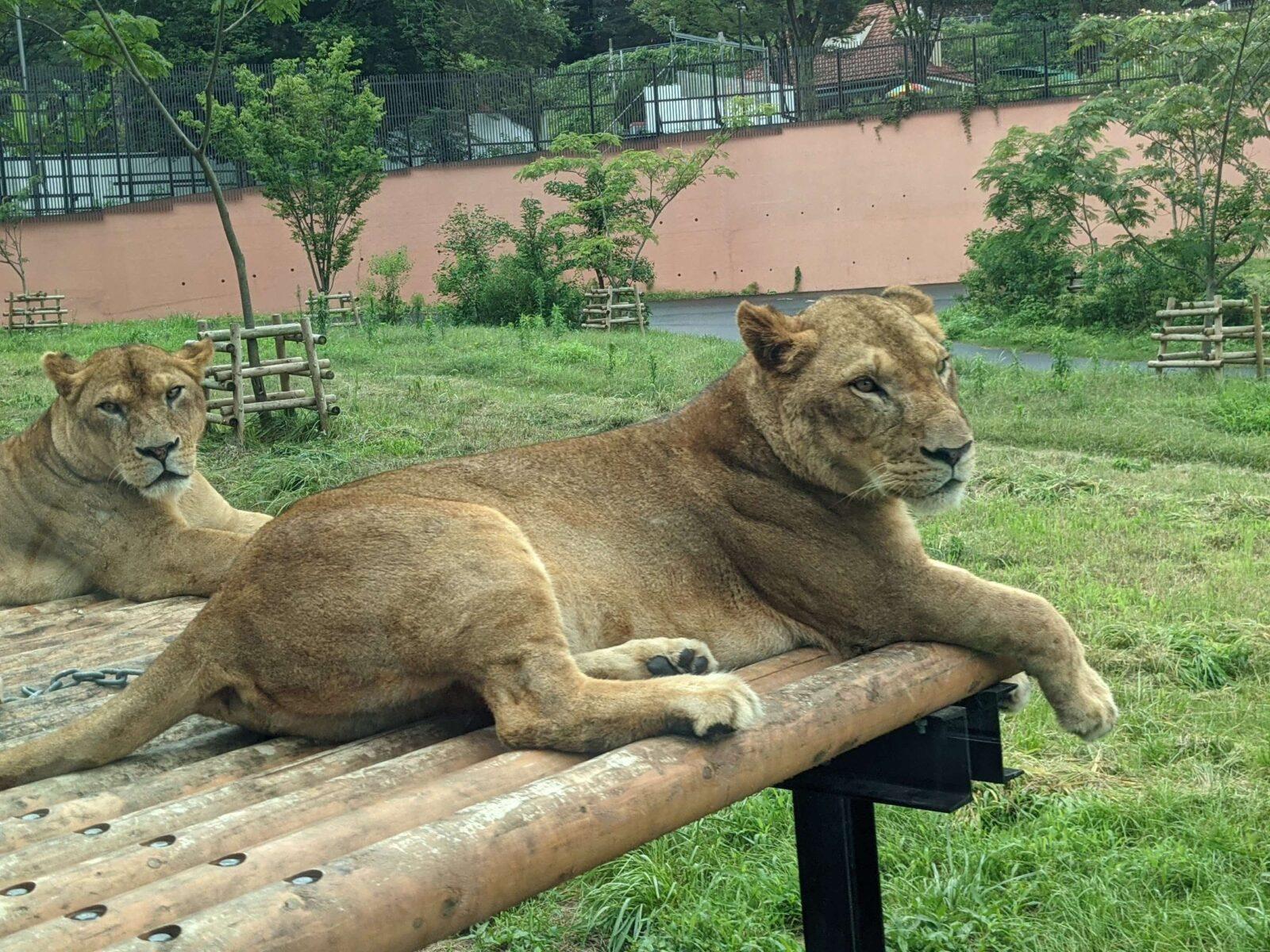 【日野市】サファリパークの元祖!多摩動物公園のライオンバスが再開!